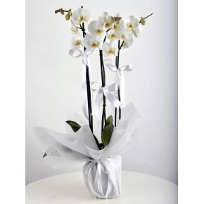 VİP 3 Dallı Beyaz Orkide